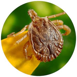 fleas bed bugs